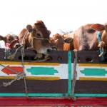 Cows being transported by truck outside Cairo